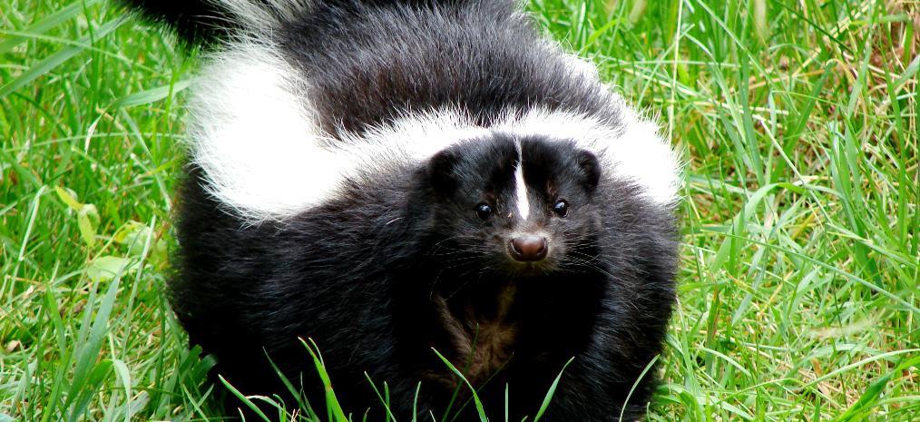 skunk-smell