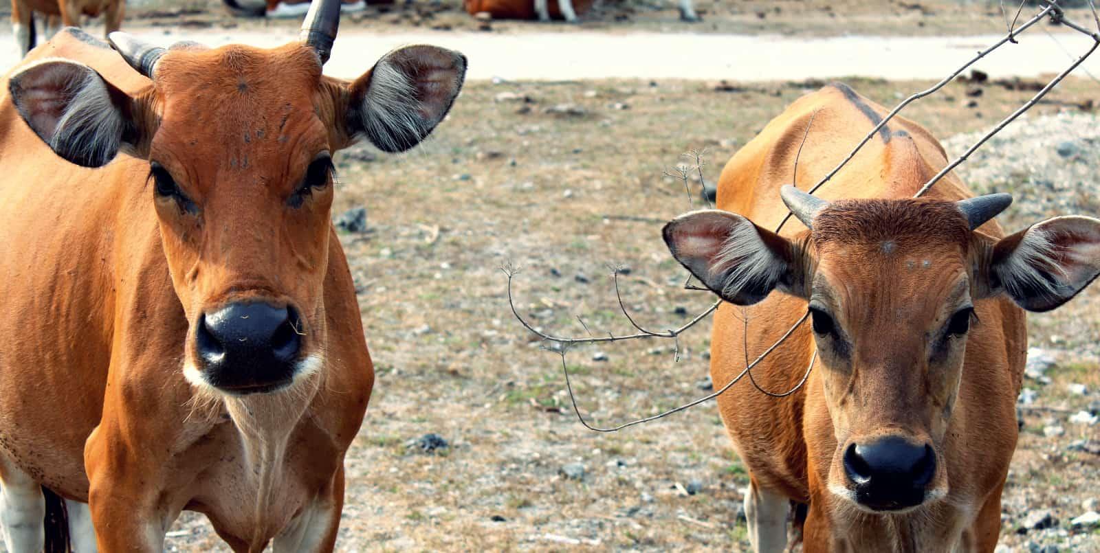Bali cows look like our deer