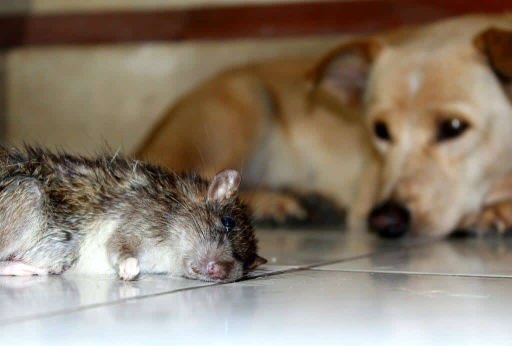 Sometimes a dog kills a rat and then looks at it...
