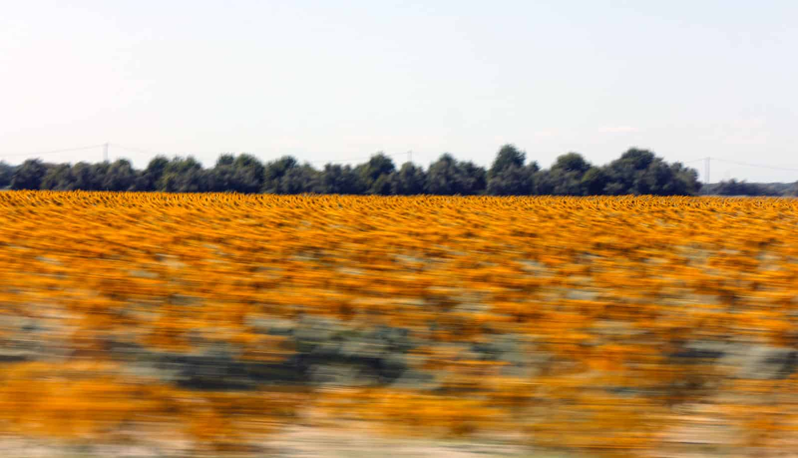 Usually quick photo snaps from the speeding vehicle turn into crap, but my fraction of a second ninja take-camera-from-backpack-point-and-shoot move resulted into quite pleasing photo of a sunflower field on our way to Italy for another summer session.